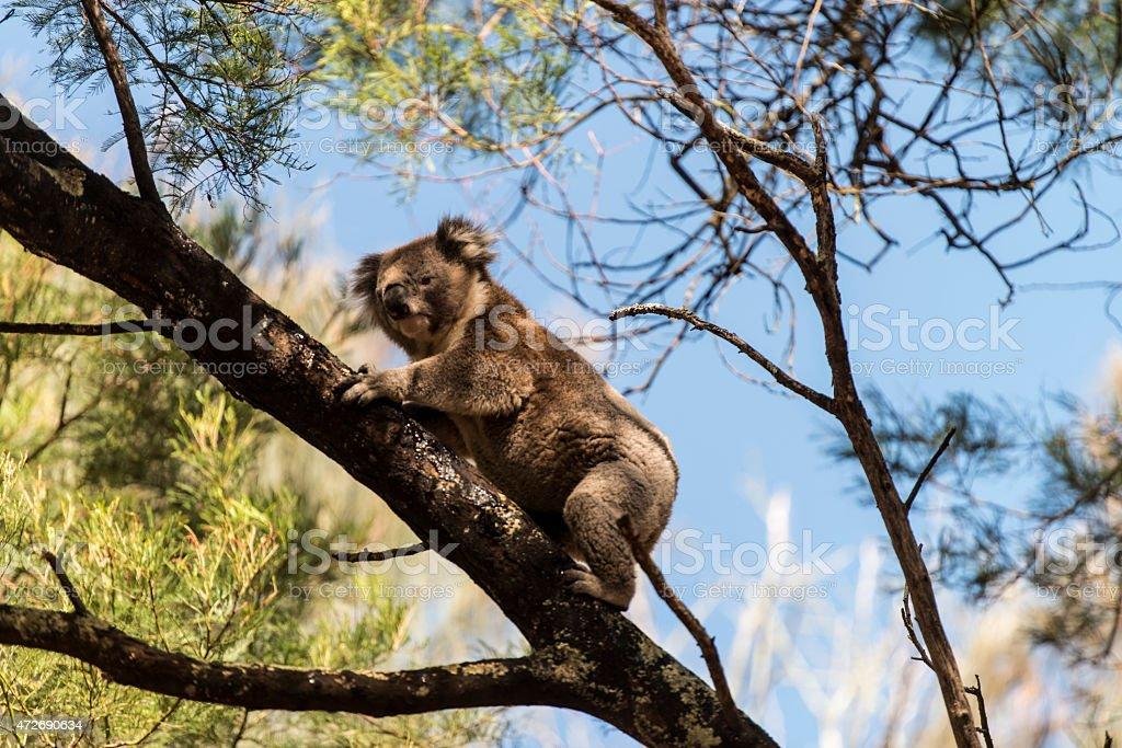 Koala in in natural habitat on tree stock photo