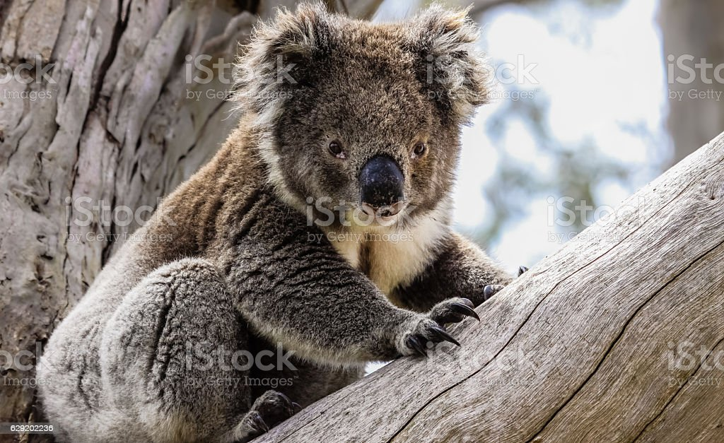 Koala in freier Natur stock photo