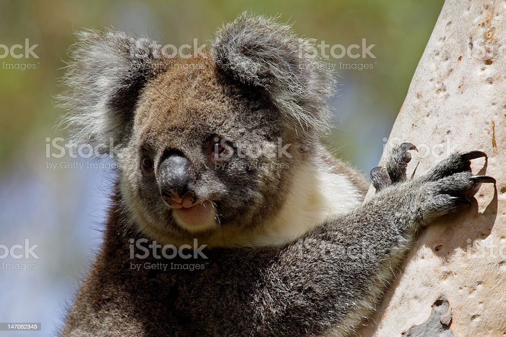 Koala in the wild, Australia royalty-free stock photo