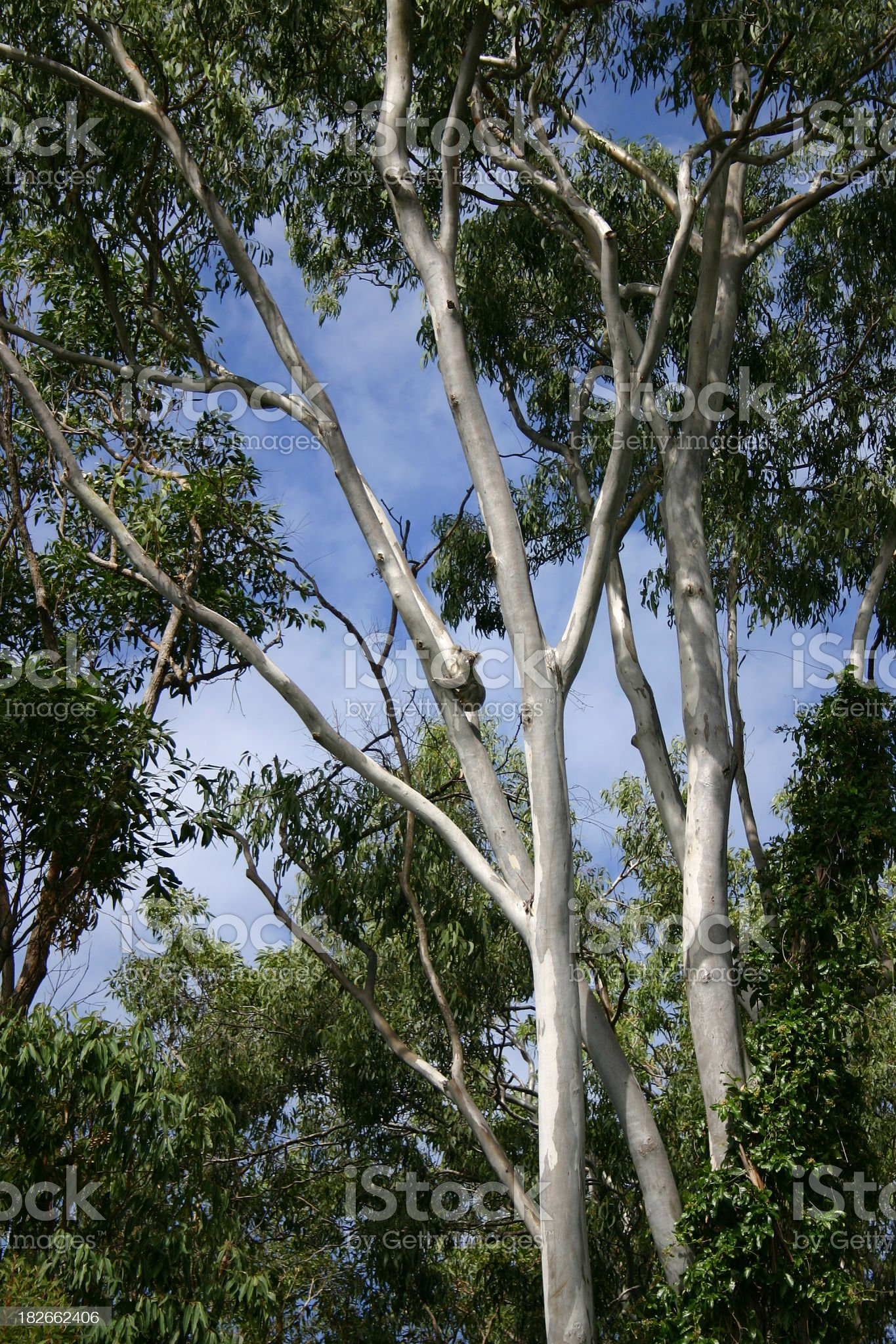 Koala in the wild high in a grey gum tree royalty-free stock photo