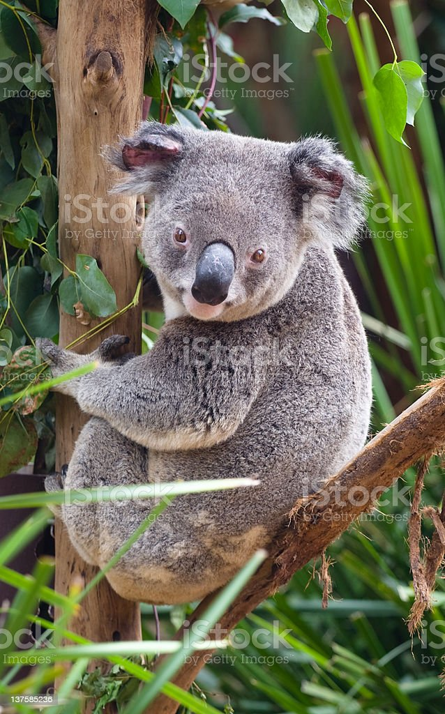 Koala in Tree royalty-free stock photo