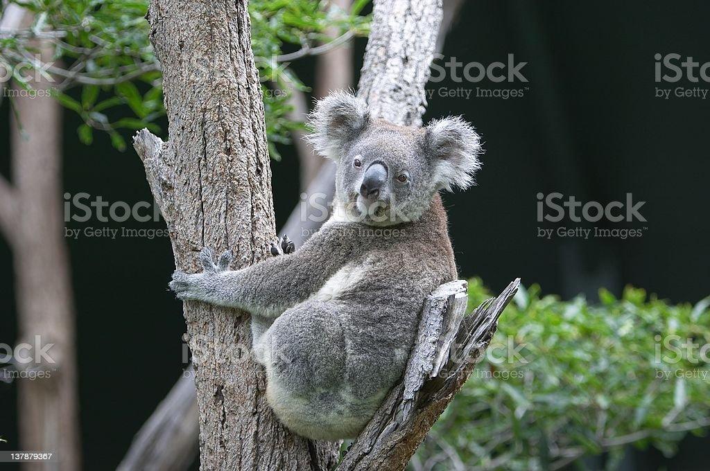Koala in Tree royalty-free stock photo