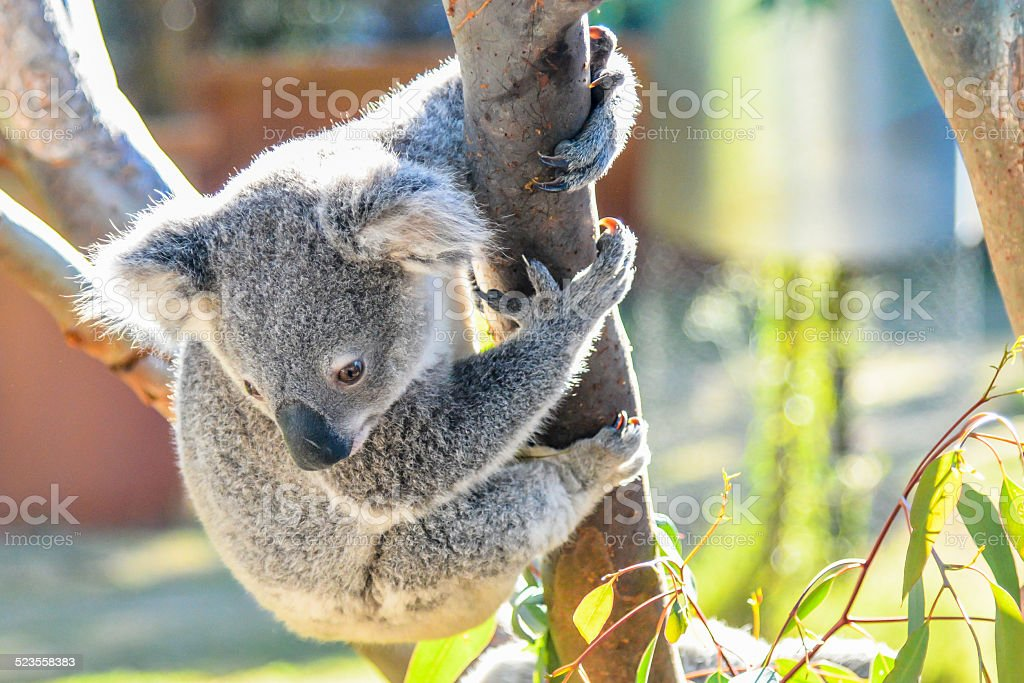 Koala is about to jump down stock photo