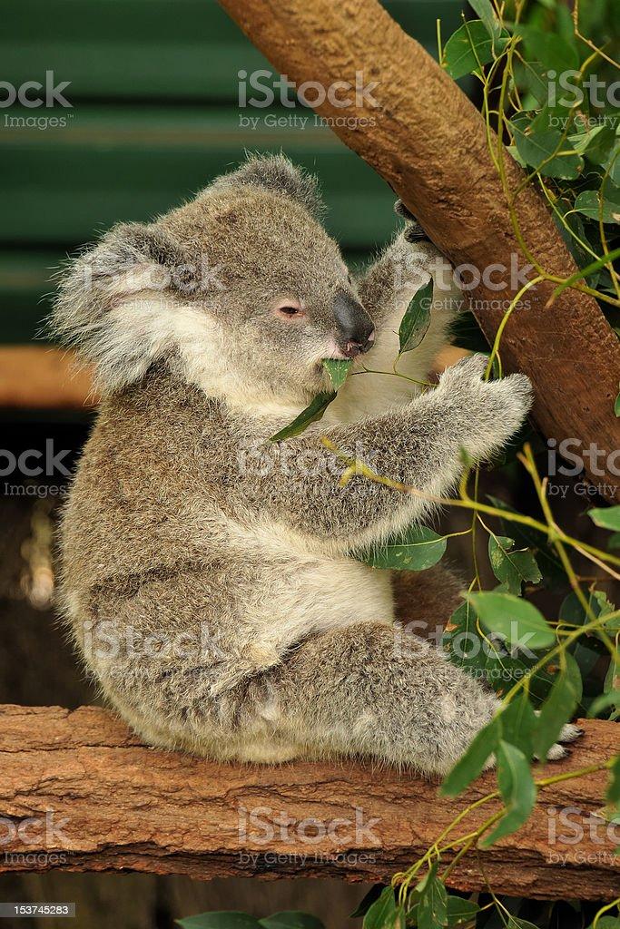 Koala joey eats eucalyptus leaf royalty-free stock photo