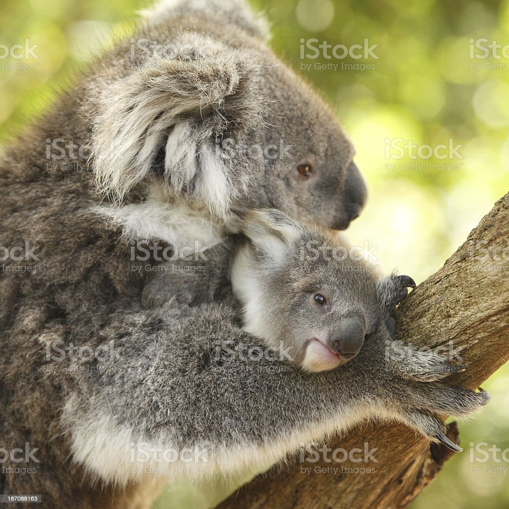 Koala Joey stock photo