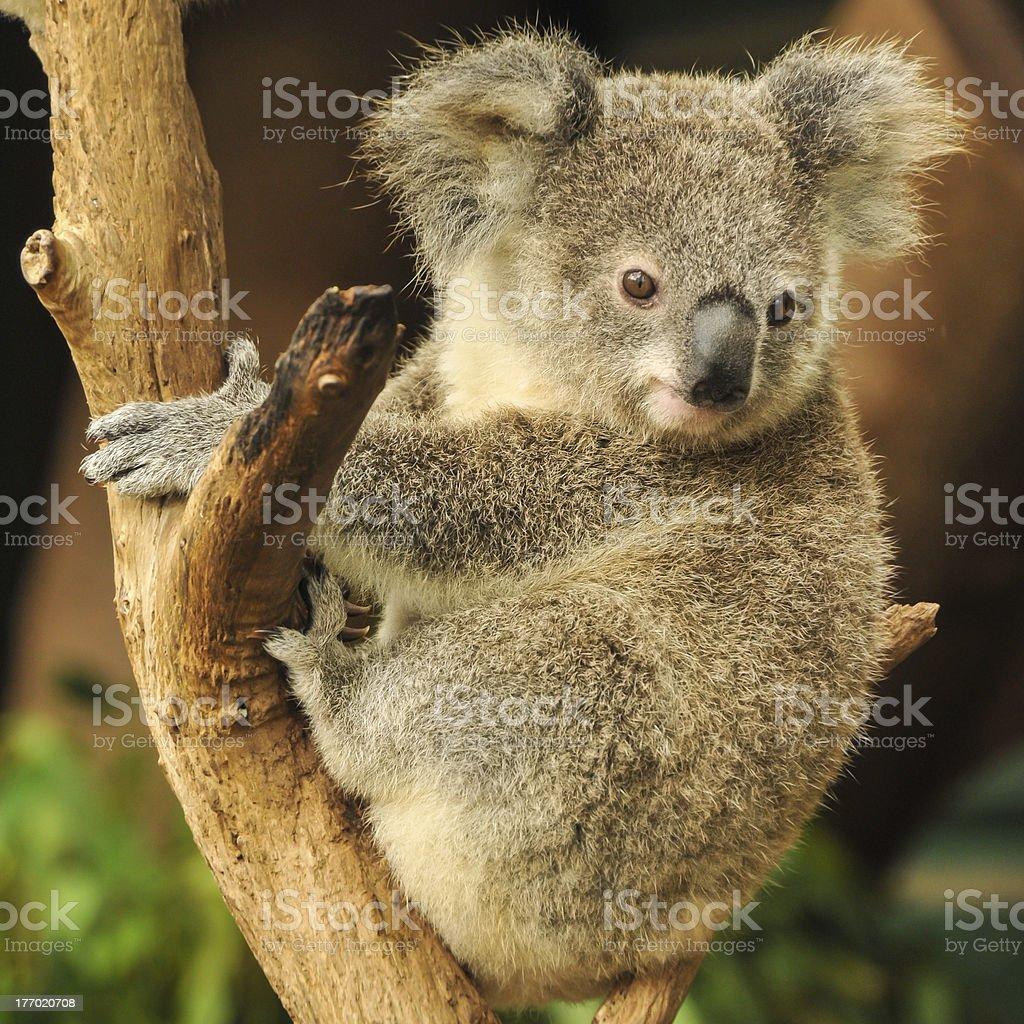 Koala joey sits on a branch stock photo