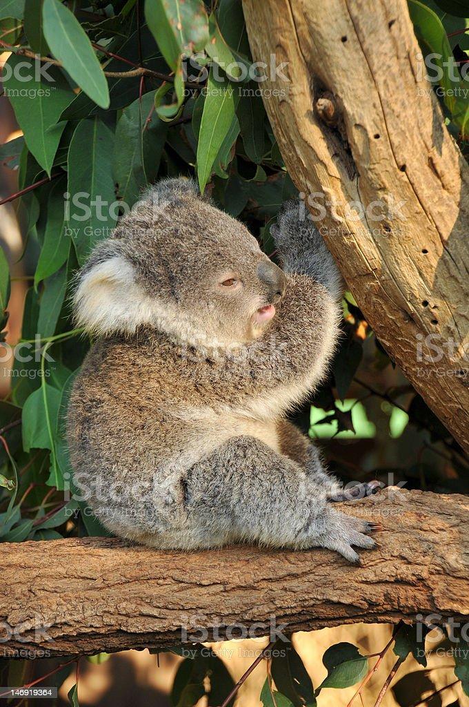 Koala joey sits on a tree stock photo