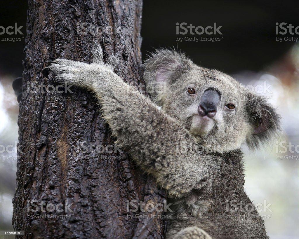 koala looking camera stock photo