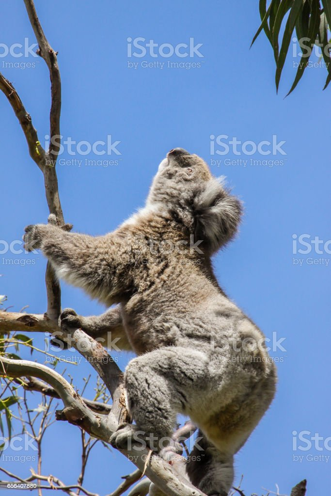 Koala looking up to the green leaves of an eucalyptus tree, Great Otway National Park stock photo