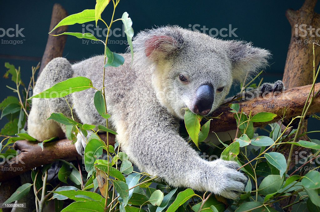 Koala lunch stock photo