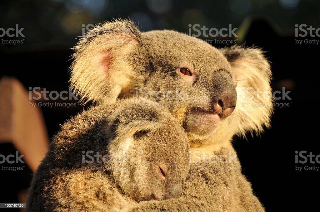 Koala mom with her sleeping joey stock photo
