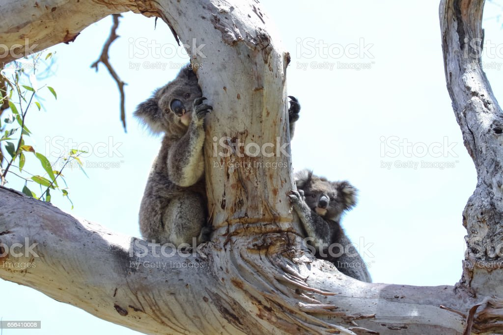 Koala mother and baby hiding behind a branch of  an eucalyptus tree, Great Otway National Park stock photo