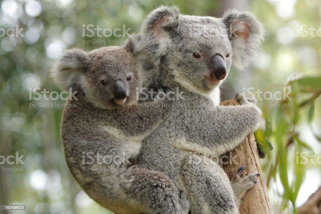 Koala Mother and Child stock photo