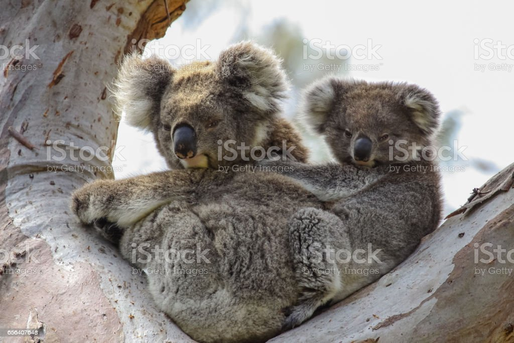 Koala mother with baby joey on its back sitting in a eucalyptus tree, facing, Great Otway National Park stock photo