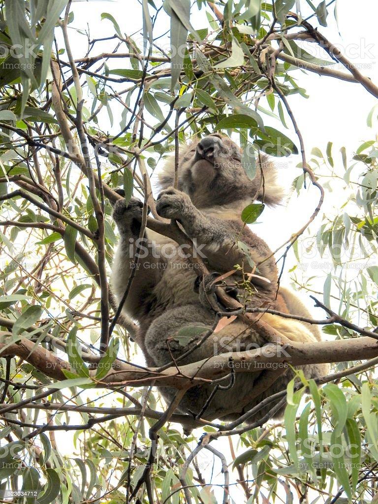 Koala moving stock photo
