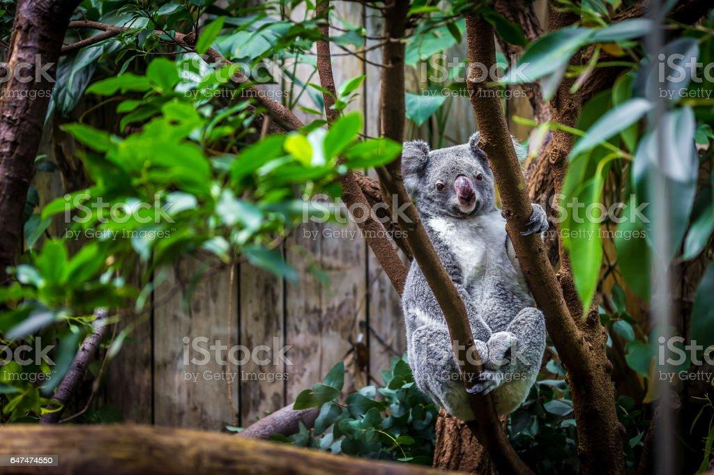 Koala on a tree stock photo