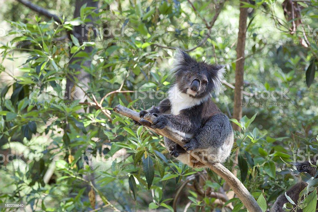 Koala on a tree trunk royalty-free stock photo