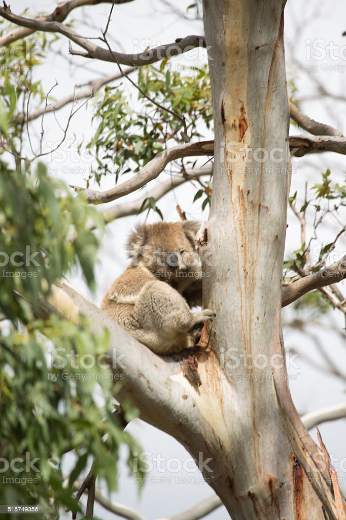 Koala on eucalyptus tree stock photo
