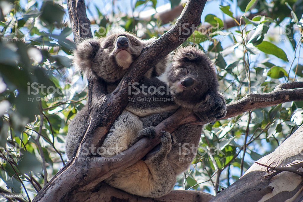 Koala on Kangaroo Island stock photo