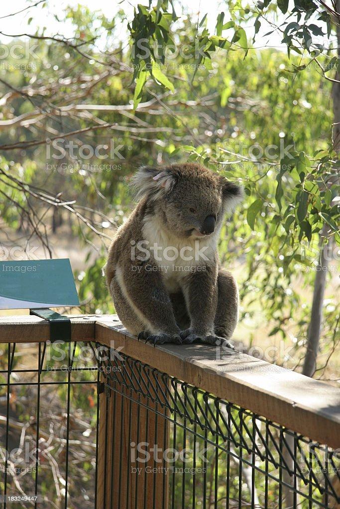 Koala on the fence stock photo
