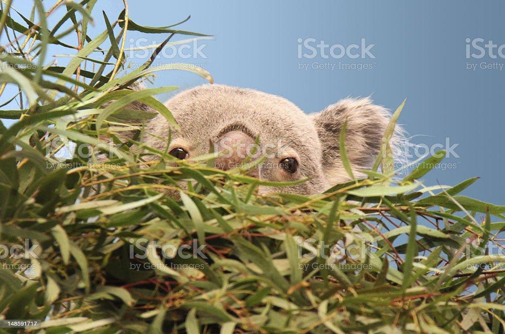 Koala peeking out from eucalyptus tree royalty-free stock photo