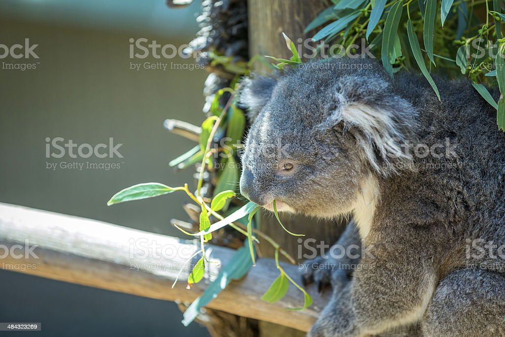 Koala Perched in Tree and Eating Leaves, Australia royalty-free stock photo