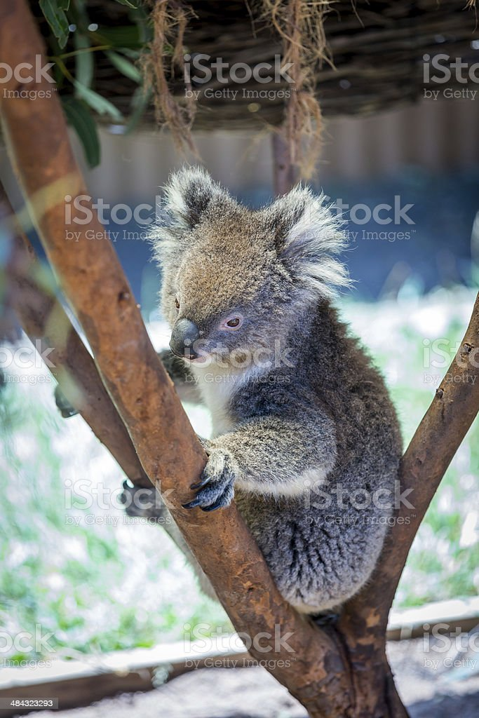 Koala Perched in Tree royalty-free stock photo