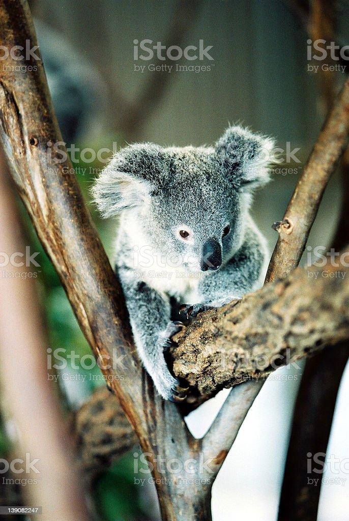 Koala royalty-free stock photo