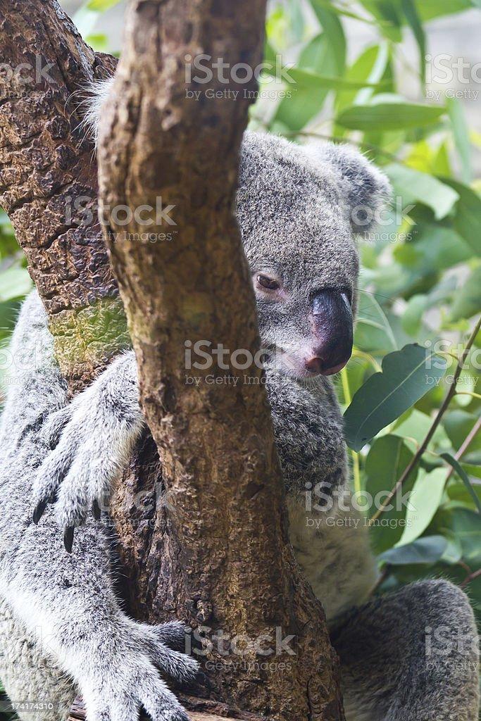 koala. royalty-free stock photo