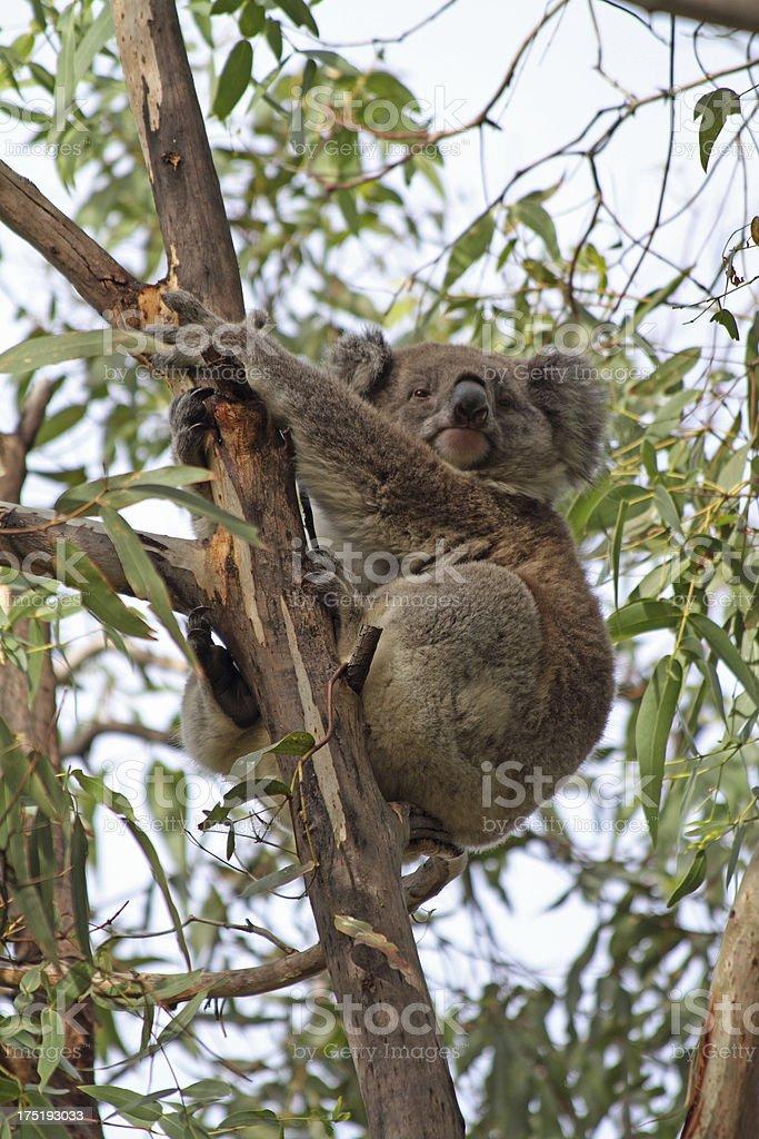 Koala stock photo