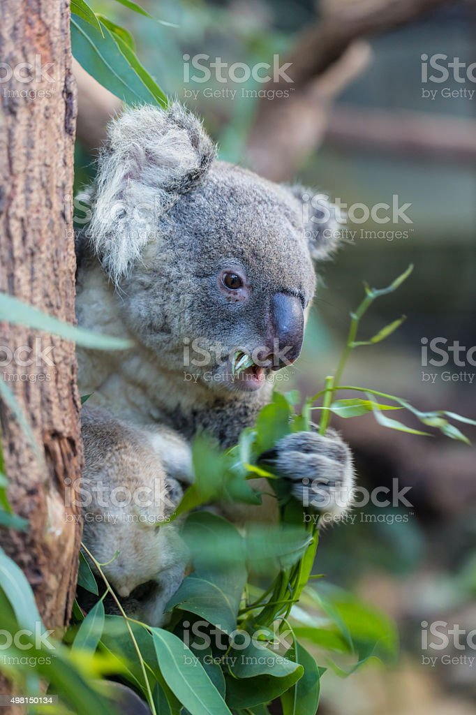 Koala. stock photo