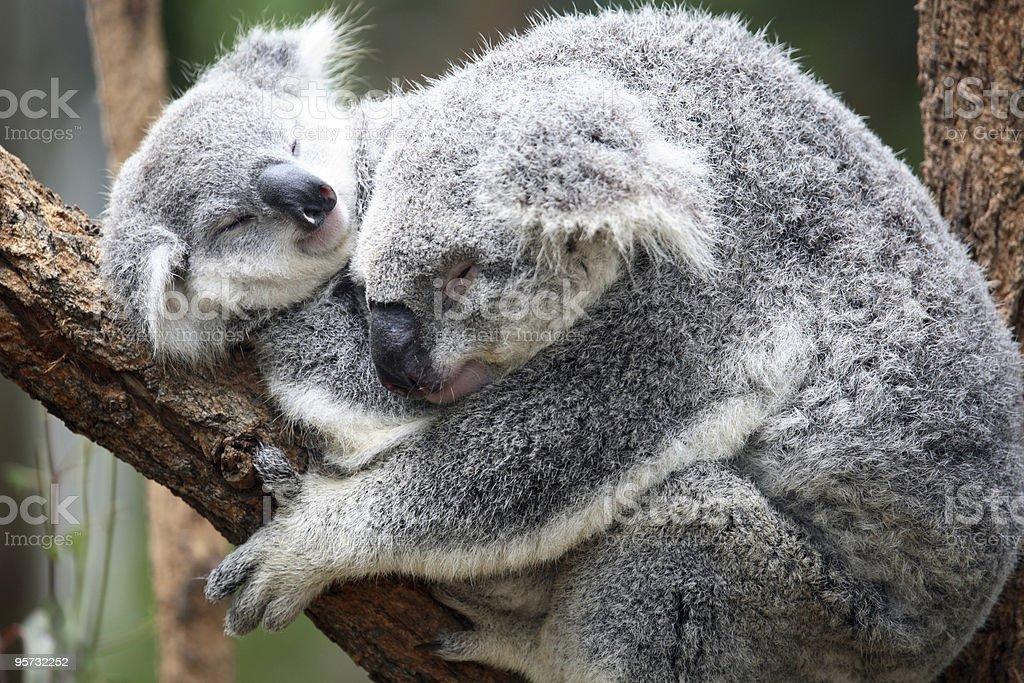 Koala (Phascolarctos cinereus) royalty-free stock photo