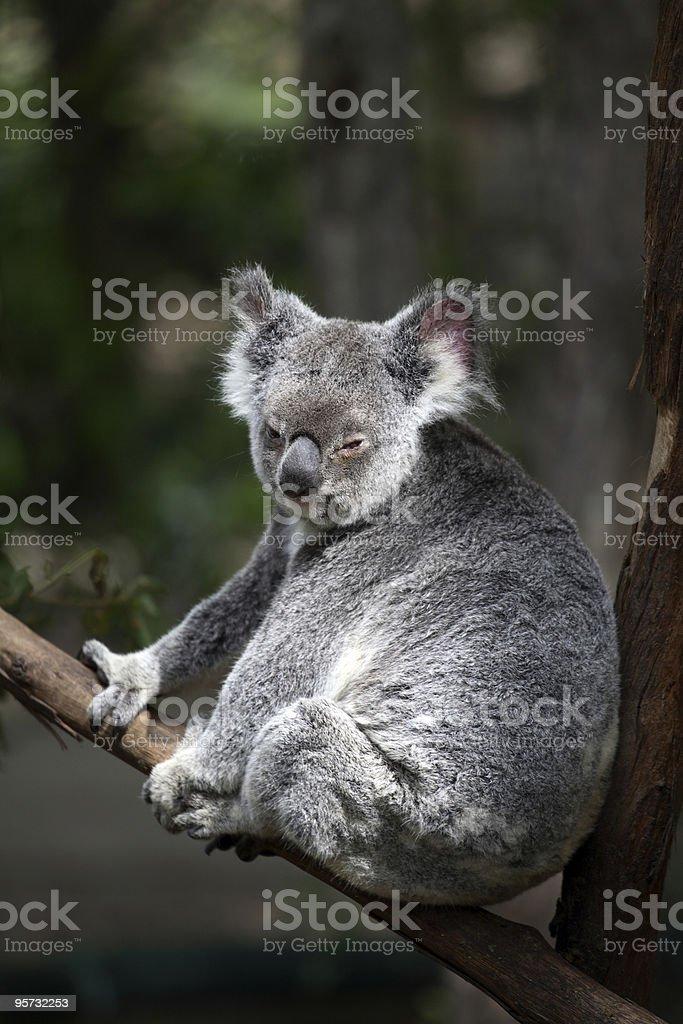 Koala (Phascolarctos cinereus) stock photo
