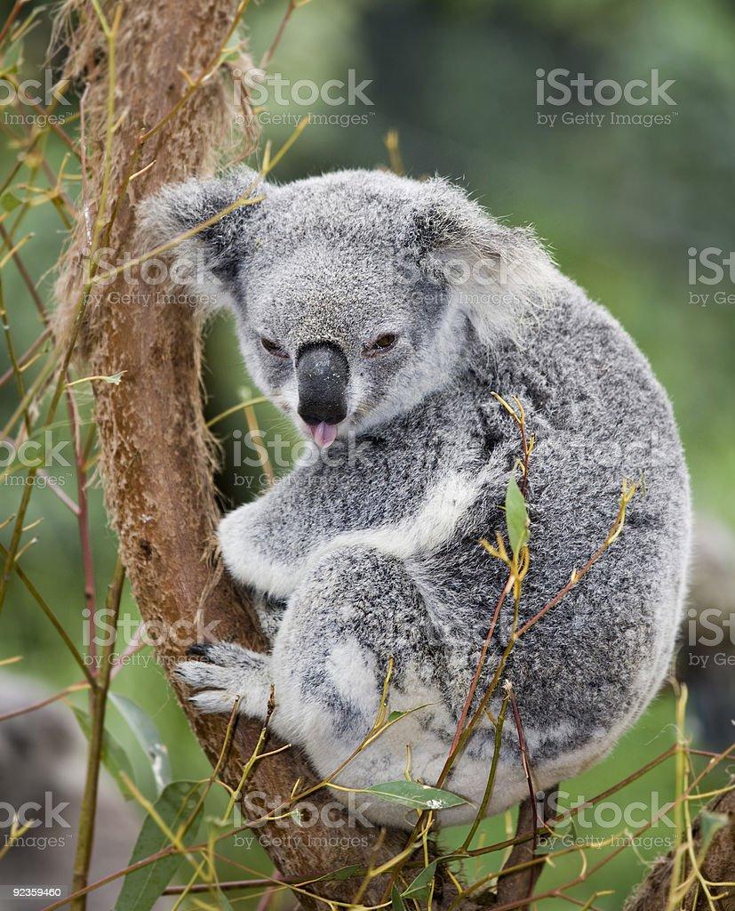 koala poking stock photo