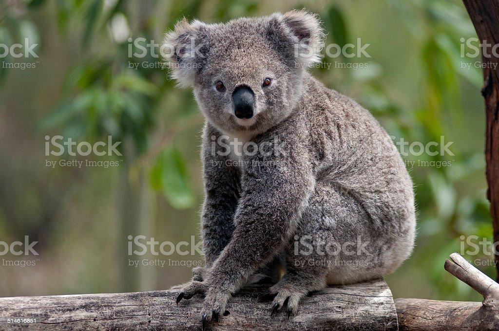 Koala Portrait on Tree Trunk, Australia stock photo