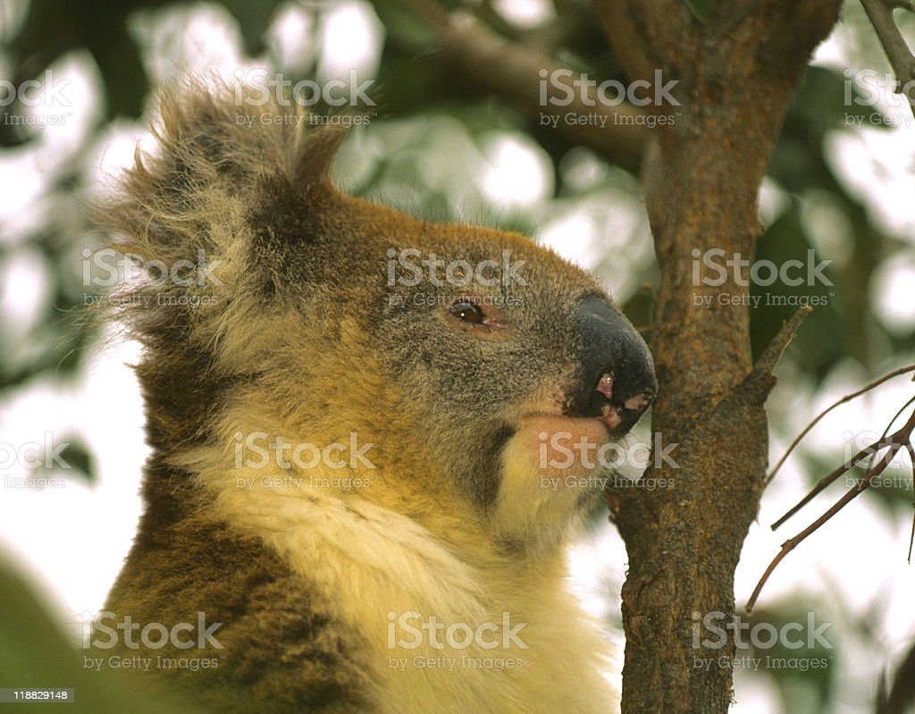 Koala Portrait royalty-free stock photo