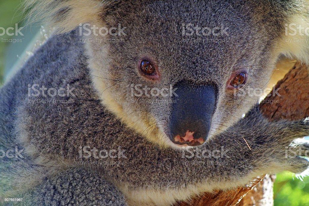 Koala Portrait stock photo