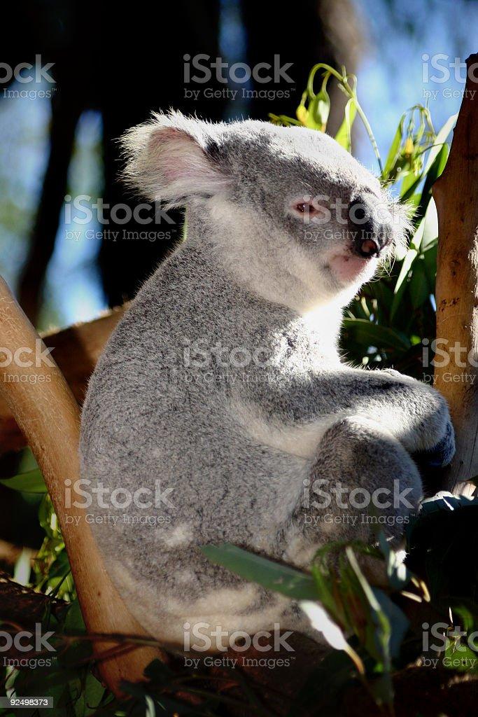Koala Profile royalty-free stock photo