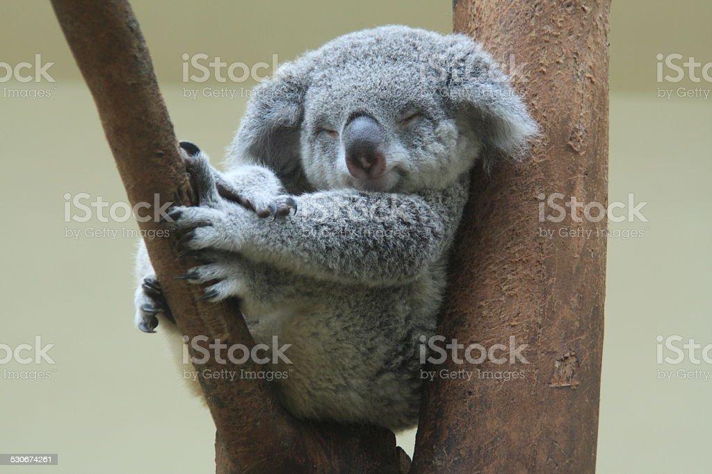 koala resting and sleeping on his tree stock photo