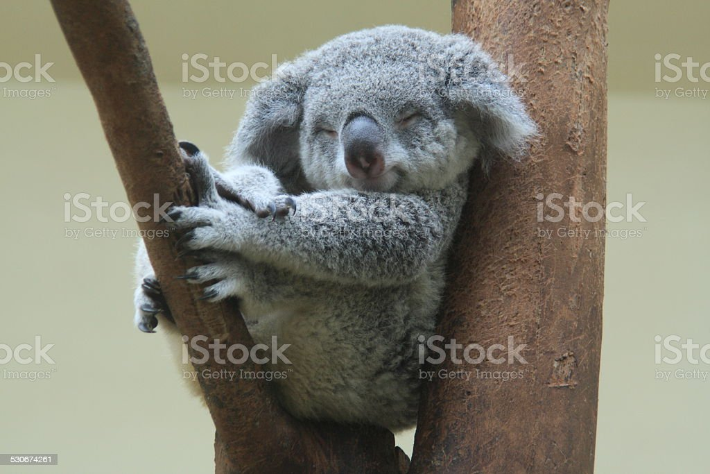 koala resting and sleeping on his tree stock photo