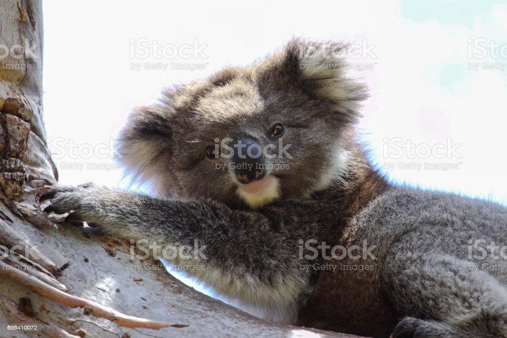 Koala resting in the shadow on an eucalyptus tree, facing, Great Otway National Park stock photo