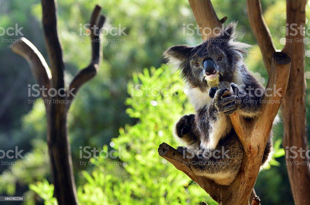 Koala sit on an eucalyptus tree stock photo