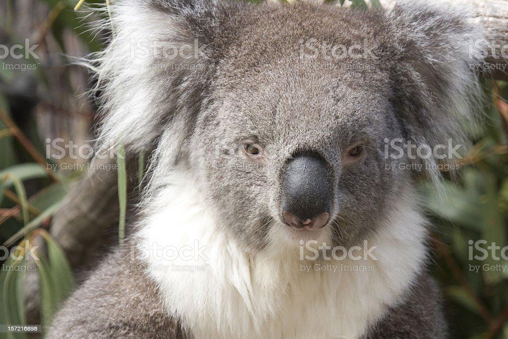 Koala sits in the Eucalyptus, Australia royalty-free stock photo