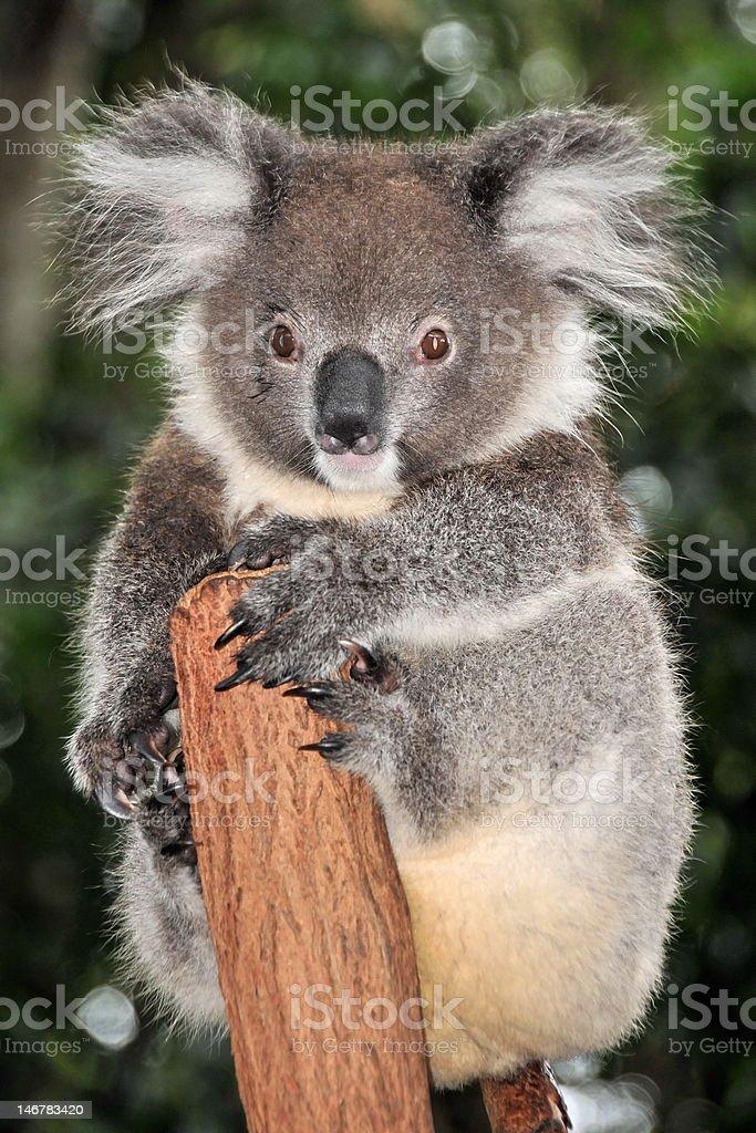 Koala sits on a tree-trunk stock photo