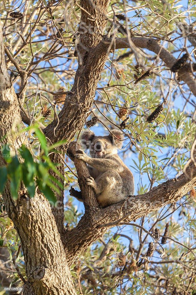 Koala sitting on a eucalyptus tree, looking at the camera stock photo