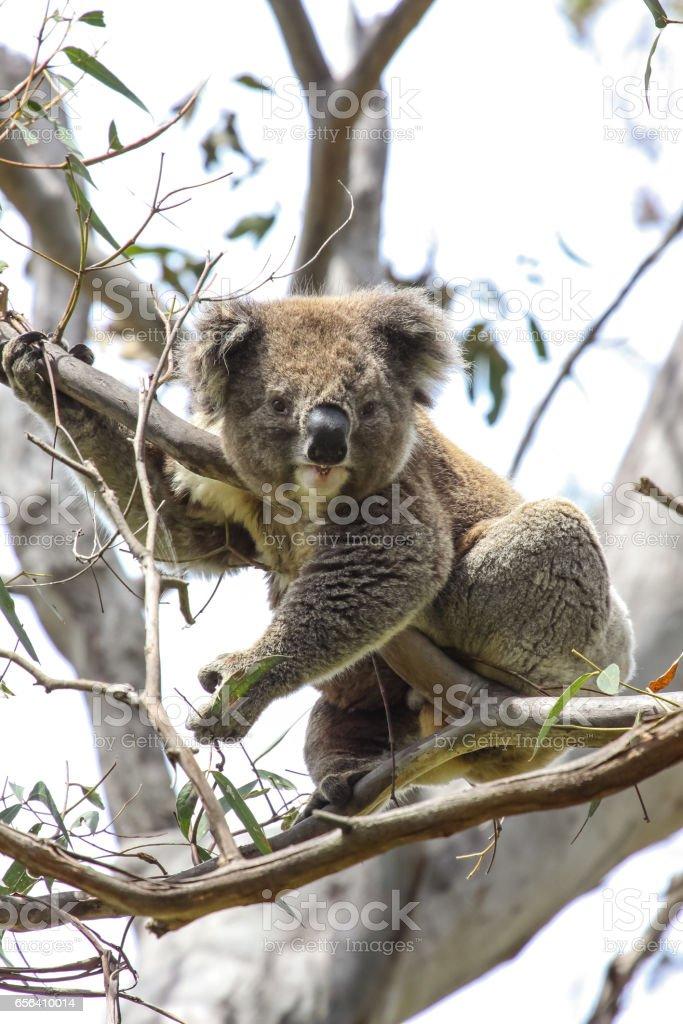 Koala sitting on branches of  an eucalyptus tree, facing, Great Otway National Park stock photo