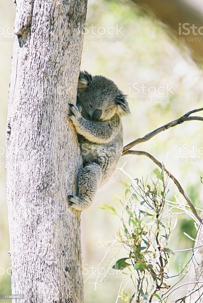 Koala Sleeping 2 royalty-free stock photo