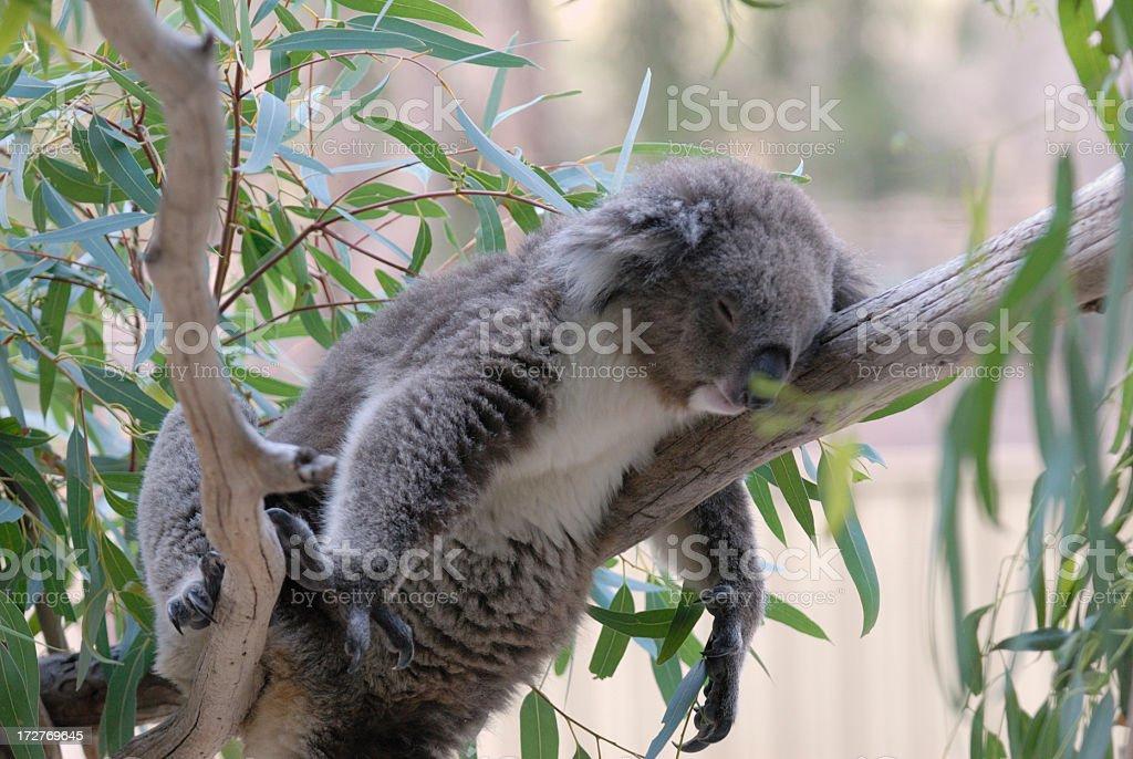 Koala sleeping in a tree royalty-free stock photo