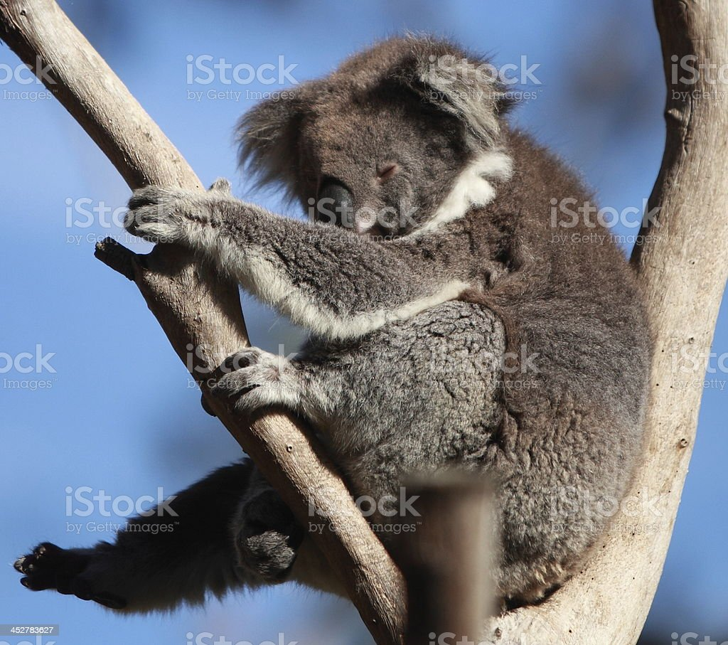Koala sleeping in a tree royalty-free stock photo