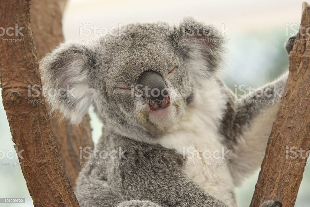 Koala Sleeping stock photo